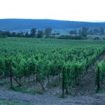 Local vineyard near Split, Croatia