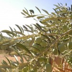 Olive oil tour from Split, Croatia