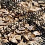 Oyster tasting in Split, Croatia